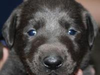 AKC Labradors - Silver and Charcoal puppies DOB -