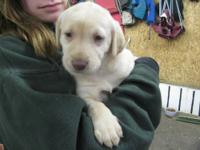 We are expecting a litter of Silver Factor lab pups mid