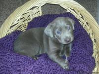 3 Females, 1 Male Silver Labrador Retriever Puppies: