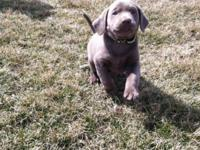 4 male AKC Silver lab puppies born 4-27-14. Ready to go