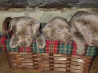 AKC Silver laboratory young puppies birthed 4-27-14.