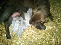 AKC silver registred puppies.Both parents OFA hips and