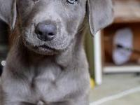 We have a beautiful litter of Silver lab puppies, ready