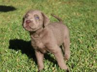 Silver lab puppies born 9/19 and ready for their new
