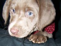 3 Beautiful silver lab pups are available. They are AKC