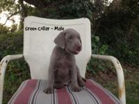 SILVER Lab, AKC reg. Green Boy is a medium-colored