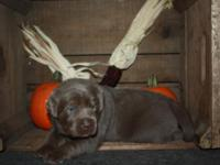 AKC Silver Labrador Puppies Currently 2 1/2 Weeks old -
