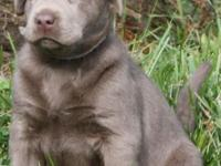 AKC Labrador puppies 2 females 1 male Puppies will come