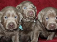 AKC Labrador puppies Puppies will be ready for their