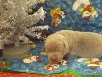 A beautiful litter of 11 Silver lab puppies were born