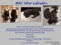 Selling AKC Silver Labrador Retrievers. They were born