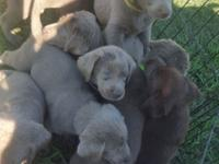 12 AKC Labrador puppies ready for their forever homes.