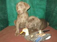 they are AKC registered they have there first shots