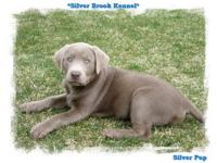 We have available silver & snow white lab puppies, &