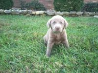 Silver Labrador Retrievers for sale. Males and females