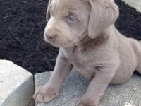 We have AKC silver and chocolate Labs available. The