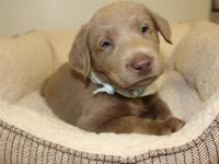 Silver Labrador Retriever young puppies. $800.00 for