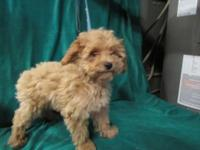 AKC female apricot poodle, 3 months old. Last of 4