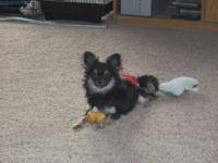 Mouse is a 1 year old male Chihuahua. He is long haired