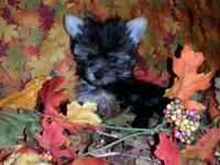 akc little male weight is 1.6 at 10 weeks ... tails,