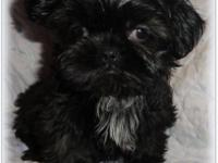 Hello, we are a Local Family raising AKC Small Shih Tzu
