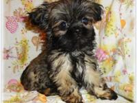 AKC Small Shih Tzu puppies they are Vet checked healthy