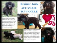 Pepper is a very sweet small male poodle. He has been