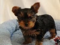 AKC small yorkie puppies. 2 males born 3/15/15. More
