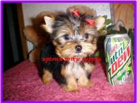 This is Honey's small, gorgeous akc reg yorkie female