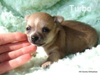 Turbo is a handsome fawn smooth coat male Chihuahua