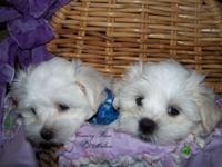 We have 2 males purebreed maltese puppies for sale.
