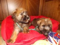 SOFT COAT WHEATEN TERRIER PUPPIES ARE READY TO GO HOME