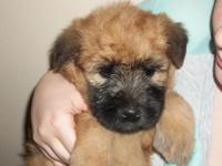 7 attractive Soft Coated Wheaten Terriers, will possess