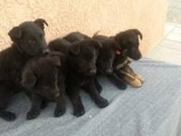 Solid black Akc registered german shepherd puppies, 8