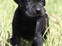 We have a beautiful solid black male who will be ready