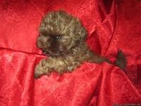 AKC registered beautiful solid caramel coat, our little