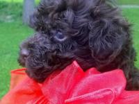 Cute solid chocolate tiny Toy Poodle male puppy. Born