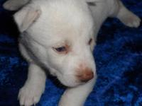 Solid white female Siberian Husky puppy. Blue eyes. She