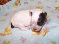 AKC tiny toy male for sale or trade for AKC toy female