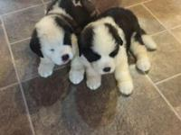 Beautiful Saint Bernard puppies available the 1st week