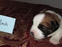 Mack, Saint Bernard Male pup for sale Mack is going to
