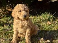 We have ten Darling Poodle Puppies, AKC Standards.