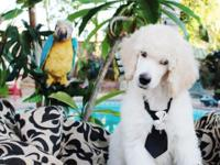 AKC basic poodle young puppy, LAST ONE! He is the