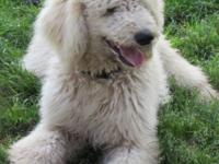 AKC Standard Poodle male, white with pale apricot ears