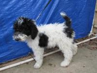 AKC conventional parti-poodle female puppies, 1