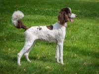 If you are in the search for a standard poodle, check