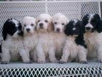~*Gorgeous AKC reg. Parti Poodles*~ Dad is a silver and