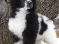 We have three beautiful parti females still available