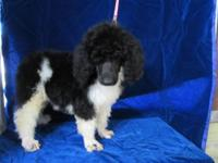 3 AKC Standard parti poodle male pups and 1 female. 2