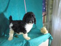 AKC Standard parti poodle pups. 9 weeks old . 3 boys